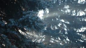 Raios de sol na névoa forte na floresta, Polônia vídeos de arquivo