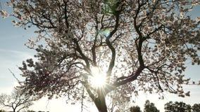 Raios de Sun através da árvore de florescência Inclinação acima, 4K video estoque