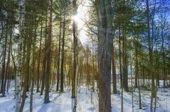 Raios de Sun através da madeira de pinho imagem de stock