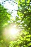 Raios de Sun e folhas verdes frescas Fundo da natureza do tempo de mola Foto de Stock Royalty Free