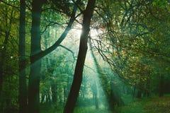 Raios de Sun entre árvores na floresta imagens de stock royalty free