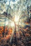 Raios de Sun na floresta  imagem de stock