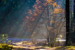 Raios de Sun na floresta nevoenta foto de stock royalty free