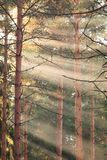 Raios de Sun no meio da floresta imagem de stock