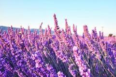 Raios do sol da manhã sobre o campo de florescência da alfazema fotografia de stock royalty free