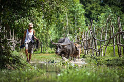 Raise animals. Man raise animals - buffalo water Asia Stock Photography