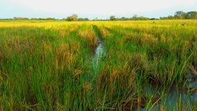 Raise crop field. Tropical raise crop. Food Stock Images