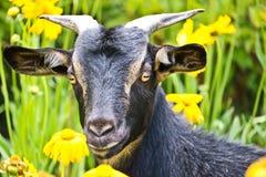 Raise goat on small garden, Kunming. Mother goat walking on flower garden Stock Photography
