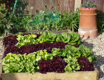 Raised Bed filled with spring lettuces Royalty Free Stock Photo