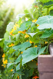 Raised bed with nasturtium Royalty Free Stock Photography