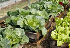 Raised bed pallet vegetable garden. A raised bed pallet vegetable garden made out of recycled materials with lettuce and cabbage growing Royalty Free Stock Photo