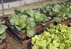 Raised bed pallet vegetable garden. A raised bed vegetable garden made out of recycled pallets with cabbages and lettuce growing Stock Image