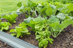 Raised bed in vegetable garden with leafy vegetables. Closeup of raised bed in vegetable garden with leafy vegetables Royalty Free Stock Photography