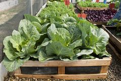 Pallet vegetable garden with cabbages, carrots and beetroot Stock Images