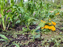 Raised Bed Vegetables. Young and healthy organic corn, cucumber, purslane lettuce and marigold plants share space in a raised garden Royalty Free Stock Photo