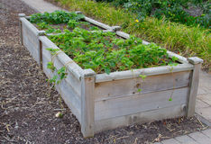 Raised beds. Wooden raised beds with strawberry plants stock photo