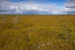 Raised bog with rare pine trees Royalty Free Stock Photography