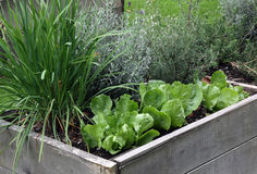 Raised garden bed. Vegetable and perennial plants, rosemary, lavender and citron grass on the raised garden bed, made it from the wood Royalty Free Stock Images