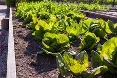 Raised garden beds. Growing lettuce in California using raised garden beds Stock Images