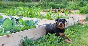 Raised Garden With Rottweiler Stock Photo