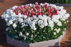 Raised Garden Tulip Beds Stock Photos