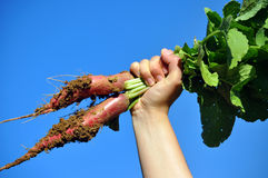 Raised radish. Fresh radish in hand against sky Royalty Free Stock Photography
