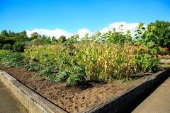 Raised sunflower beds in Kitchen garden Royalty Free Stock Photo