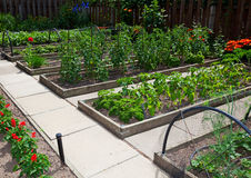 Raised Vegetable Garden Beds. Are more productive and easier to maintain than traditional garden plots.  A section of raised beds on a sunny day Stock Photography