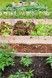 Raised Vegetable Gardens. A row of raised beds made of wood boards create a vegetable garden filled with young plants Royalty Free Stock Photos