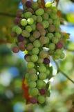 raisin Photographie stock libre de droits