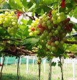 raisin Photo stock