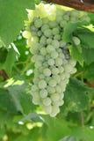 Raisin blanc mûr de Macédoine Image stock