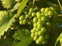 Raisin blanc s'arrêtant de vigne Images stock
