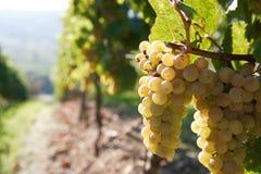 Raisin blanc sur la vigne Images libres de droits