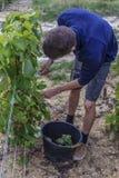 Raisin dans la région de Champagne, France Images stock