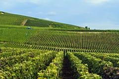Raisin dans la région de Champagne, France Photographie stock libre de droits
