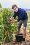 Raisin dans la région de Champagne, France Image libre de droits