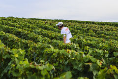 Raisin dans la région de Champagne, France Image stock