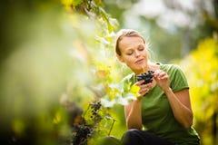 Raisin de cueillette de femme Photographie stock libre de droits