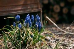 Raisin de floraison Hyacinth Plant photos stock