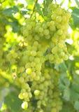Raisin de vigne Photographie stock libre de droits