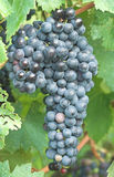 Raisin de vigne Images libres de droits
