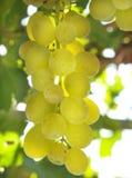 Raisin de vigne Image stock