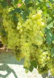 Raisin de vigne Photos stock