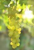 Raisin de vigne Photographie stock