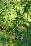 Raisin de vin Image libre de droits