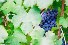 Raisin de vin rouge Photographie stock libre de droits