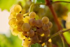 raisin jaune dans le vignoble photographie stock