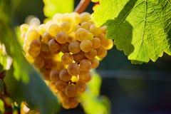 raisin jaune dans le vignoble photographie stock libre de droits
