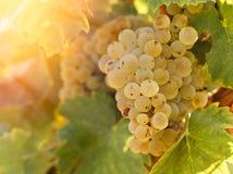 Raisin Riesling dans le vignoble dans la fin de l'après-midi Images libres de droits